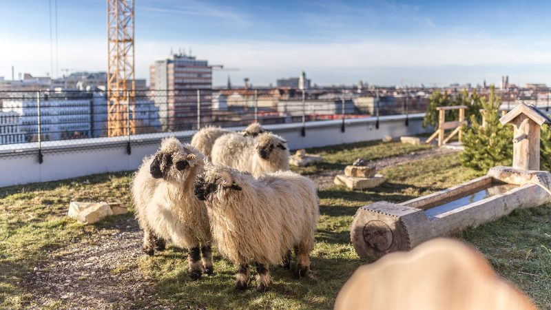 Rooftop Sheep